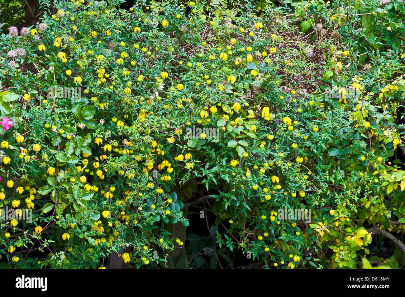 Bell shaped yellow flower stock photos bell shaped yellow flower bill macenze clemetis with yellow bell shaped flowers garden plant summer yellow stock image mightylinksfo