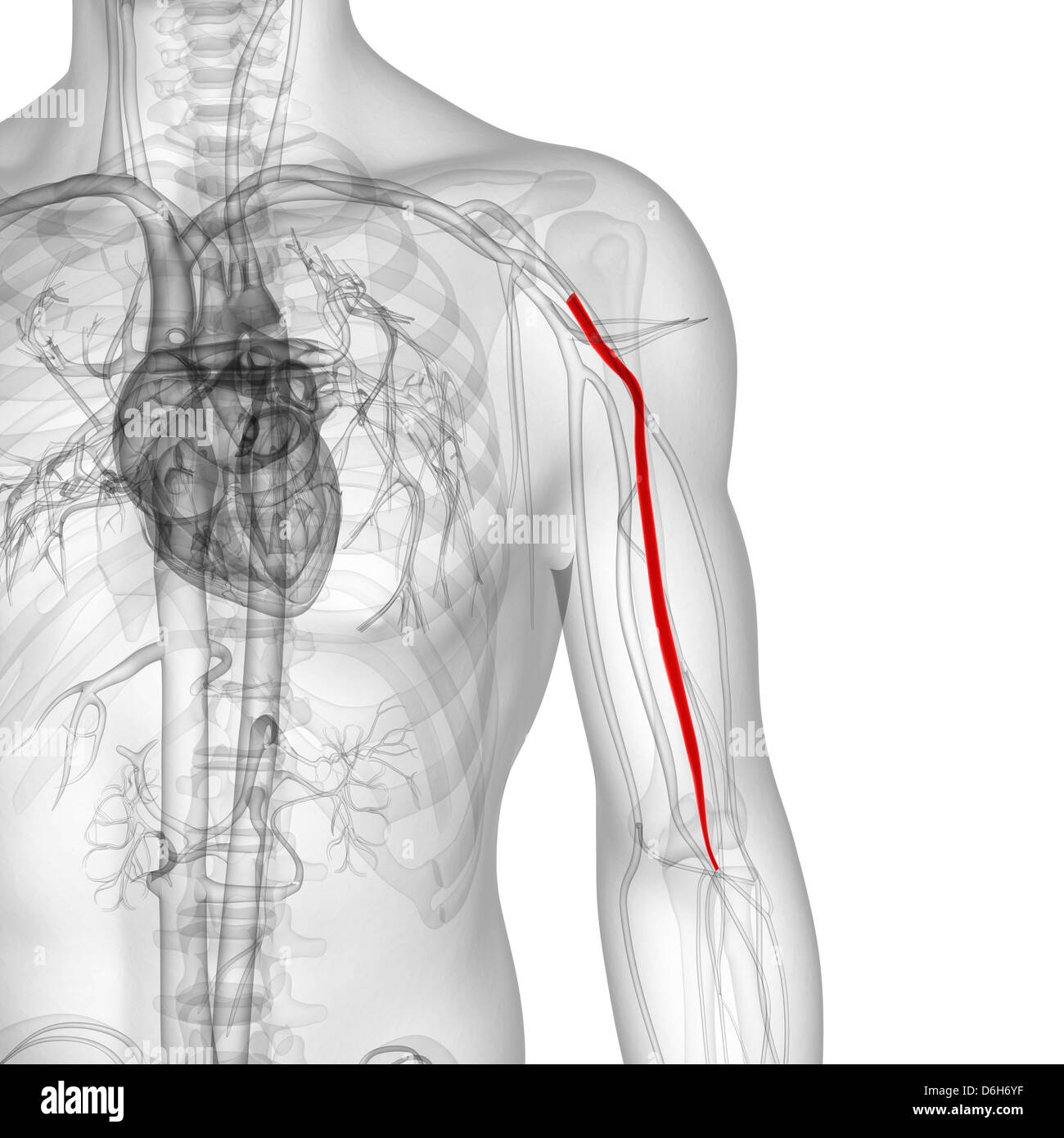 Brachial Artery Stock Photos & Brachial Artery Stock Images - Alamy