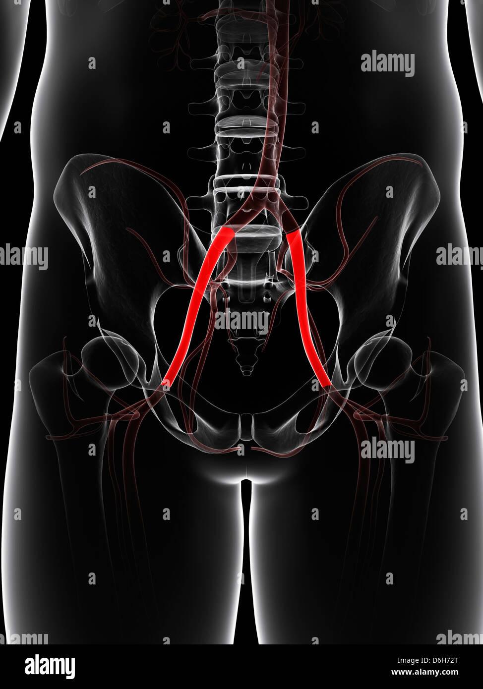 Pelvic arteries, artwork - Stock Image