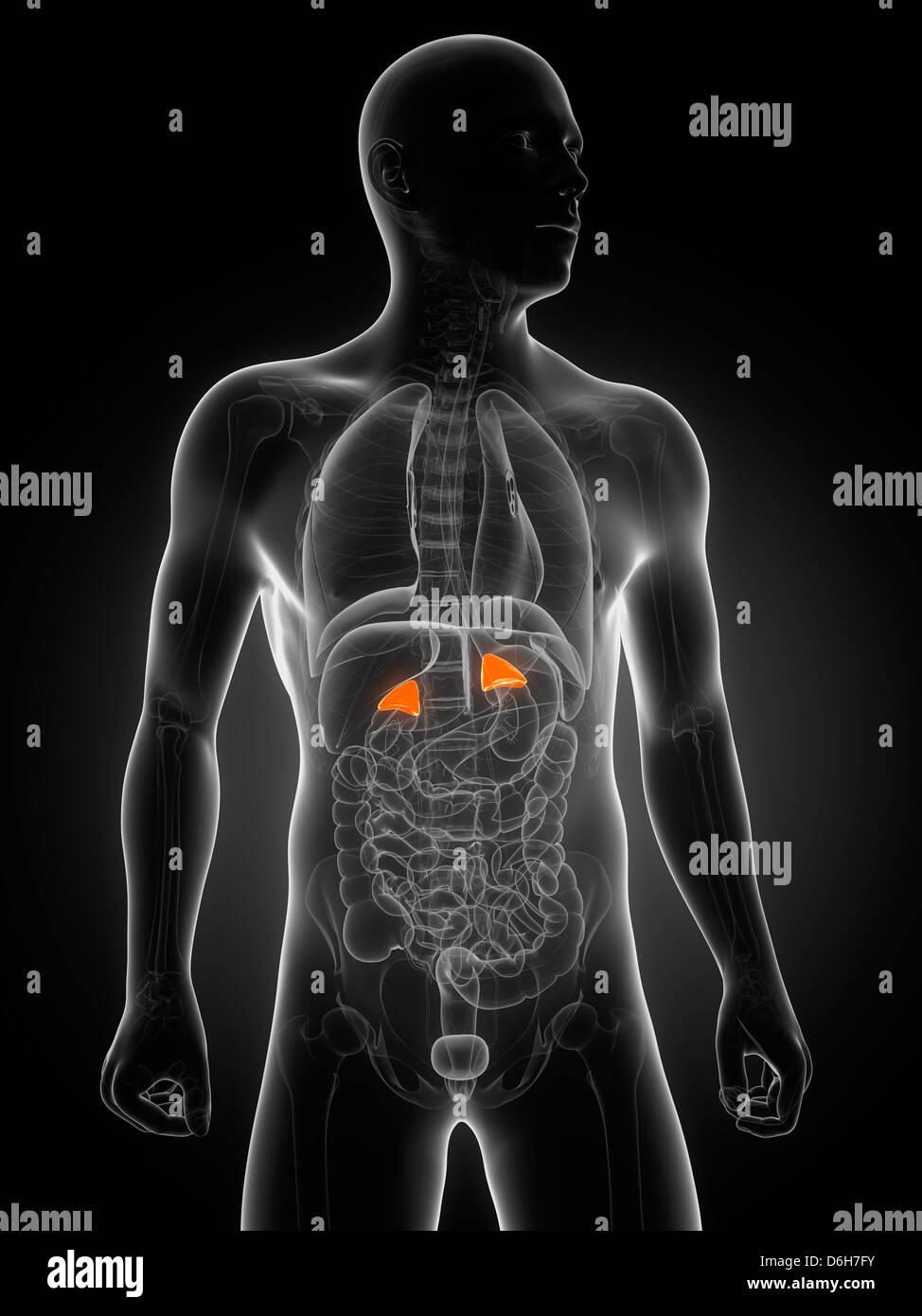 Healthy Adrenal Glands Artwork Stock Photo 55698159 Alamy