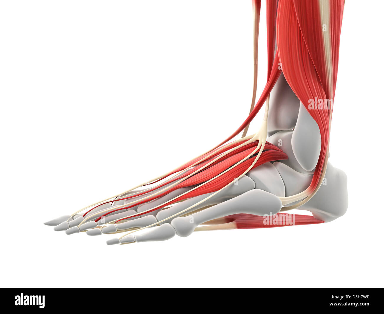 Foot Muscles Artwork Stock Photo 55698434 Alamy