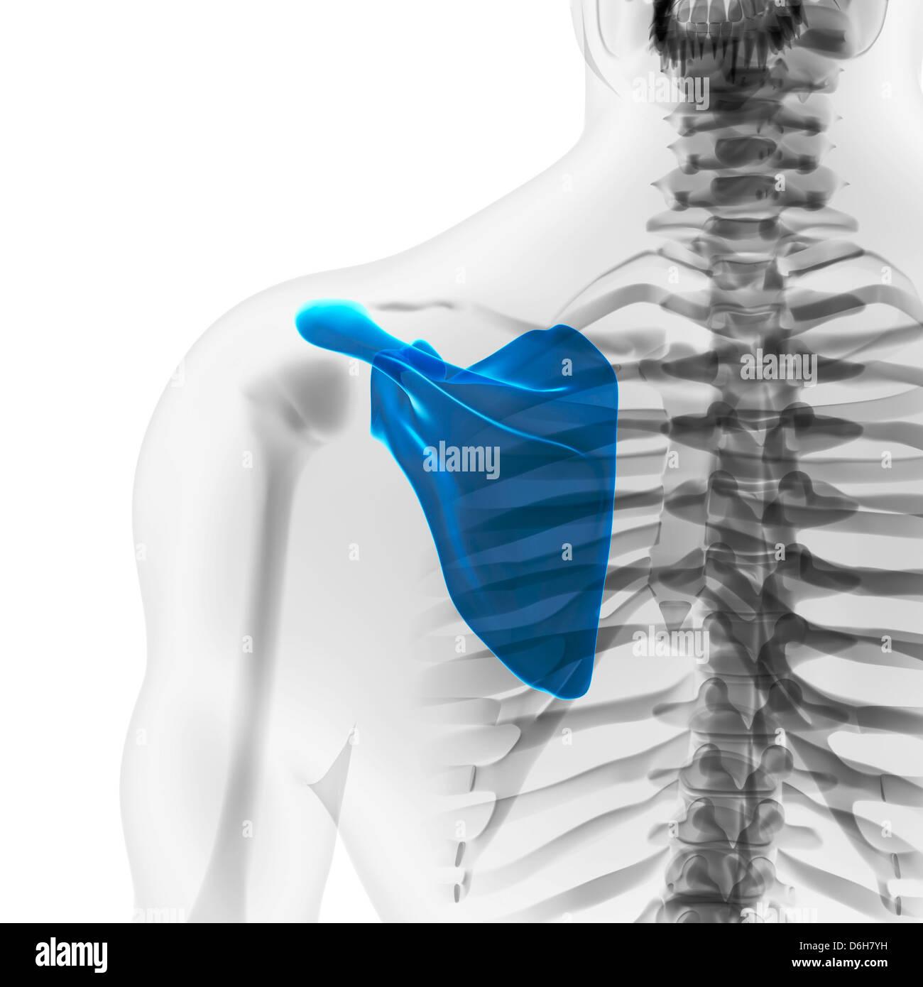 Scapula Bone Shoulder Blade Stock Photos & Scapula Bone Shoulder ...