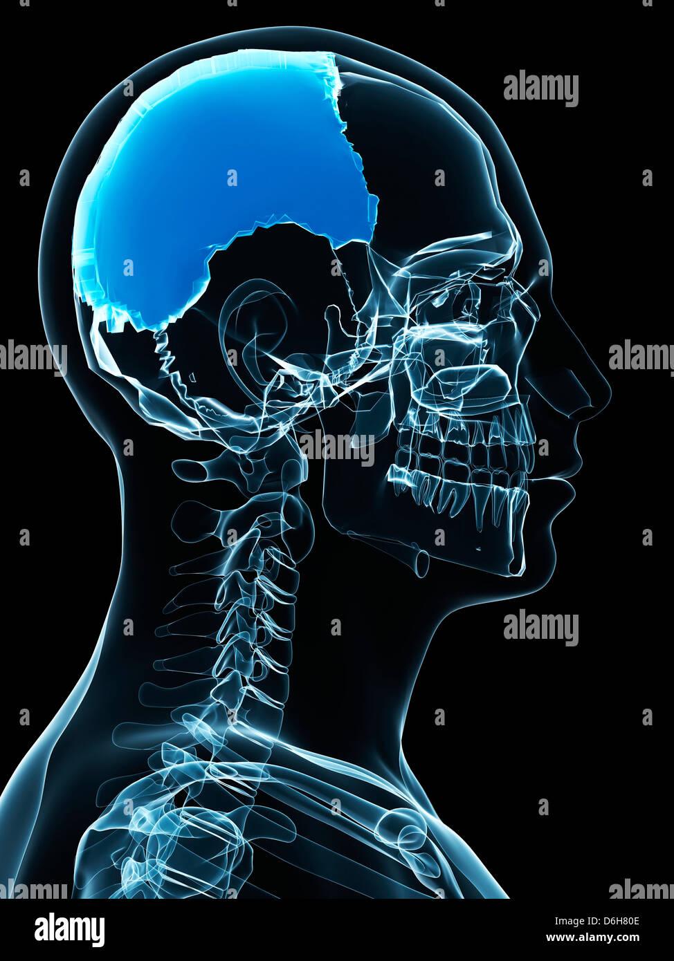 Parietal Skull Bone Stock Photos Parietal Skull Bone Stock Images