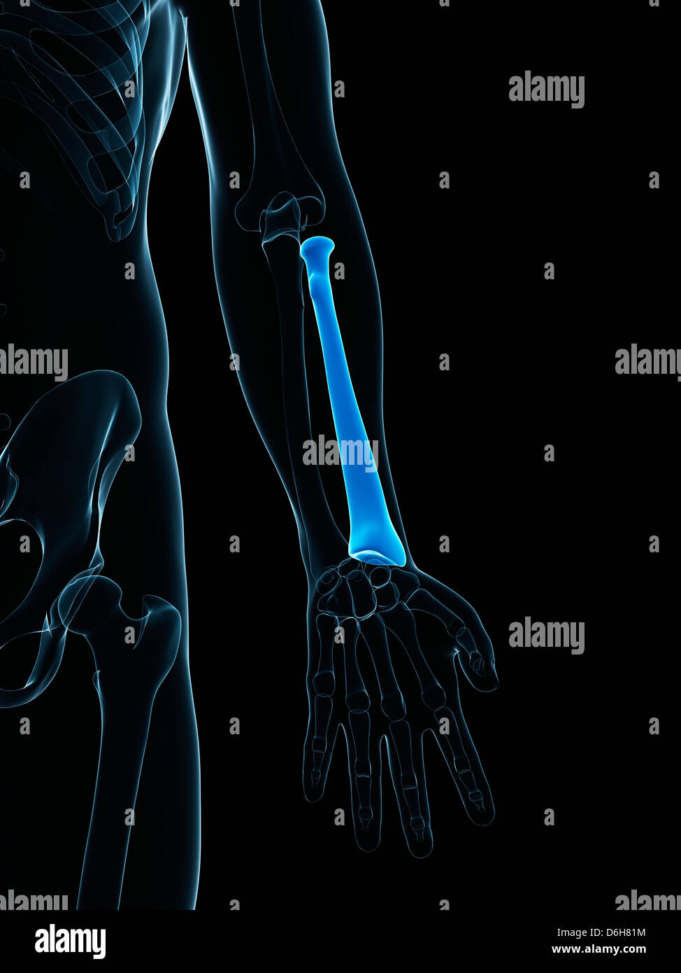 Lower Arm Bone Stock Photos Lower Arm Bone Stock Images Alamy