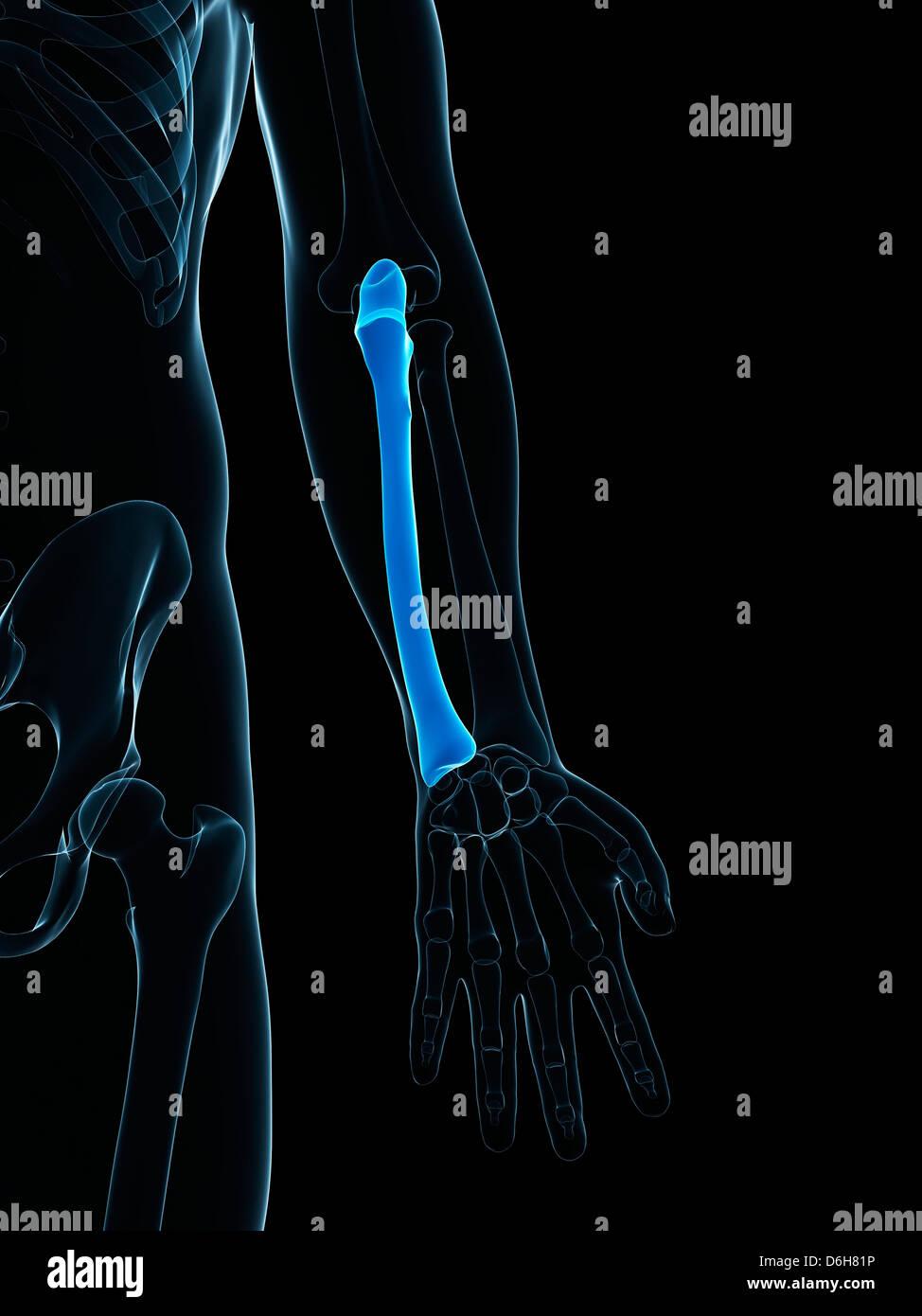 Radius Bone Stock Photos Radius Bone Stock Images Alamy