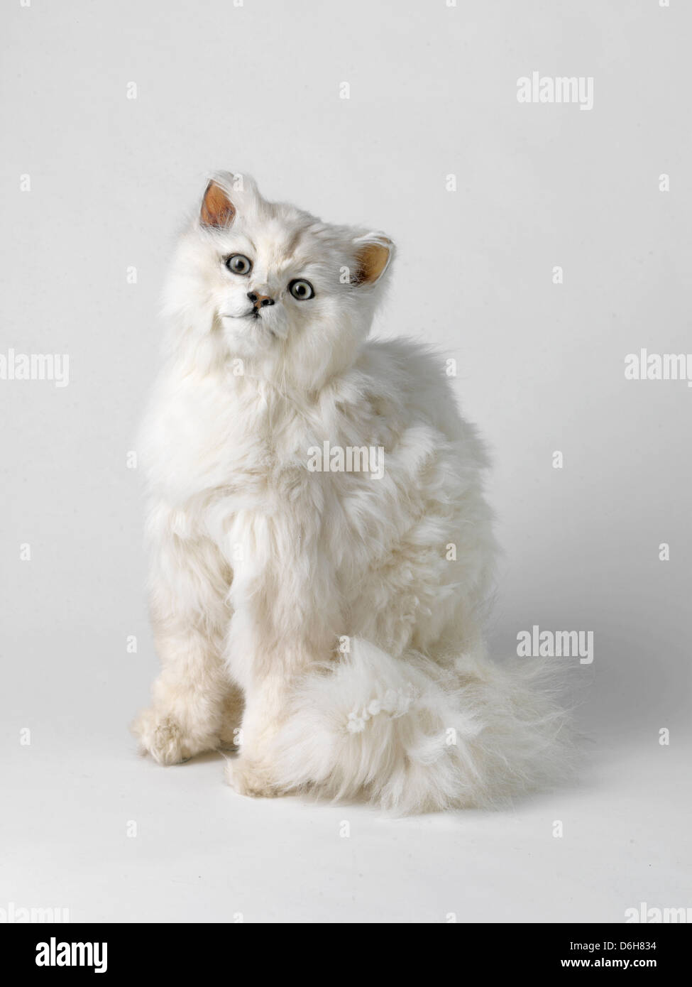 Taxidermied cat with head tilted - Stock Image