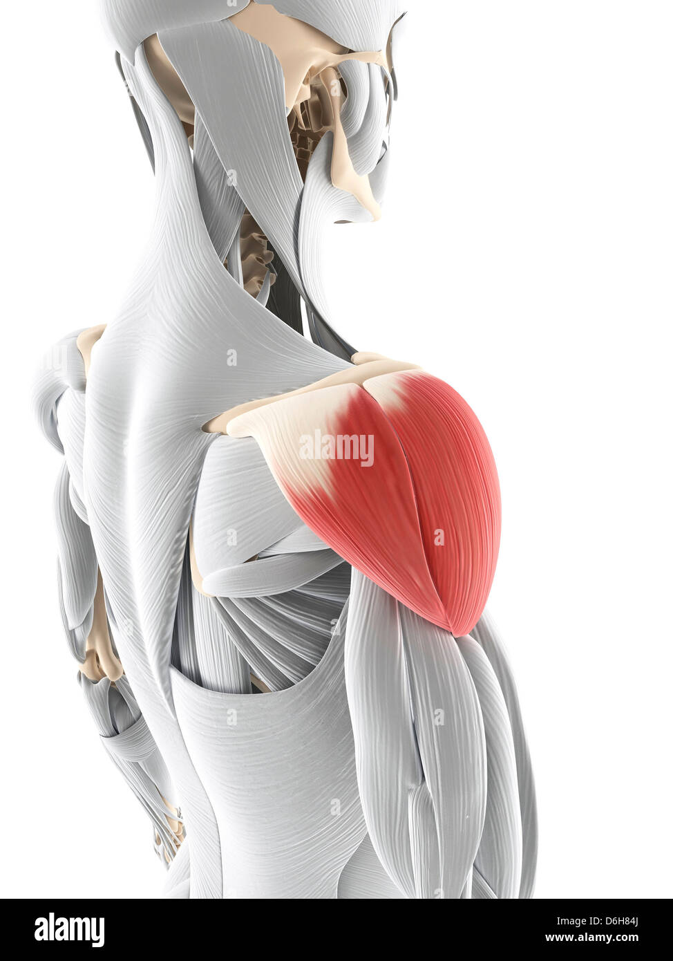 Deltoid Muscle Stock Photos & Deltoid Muscle Stock Images - Alamy