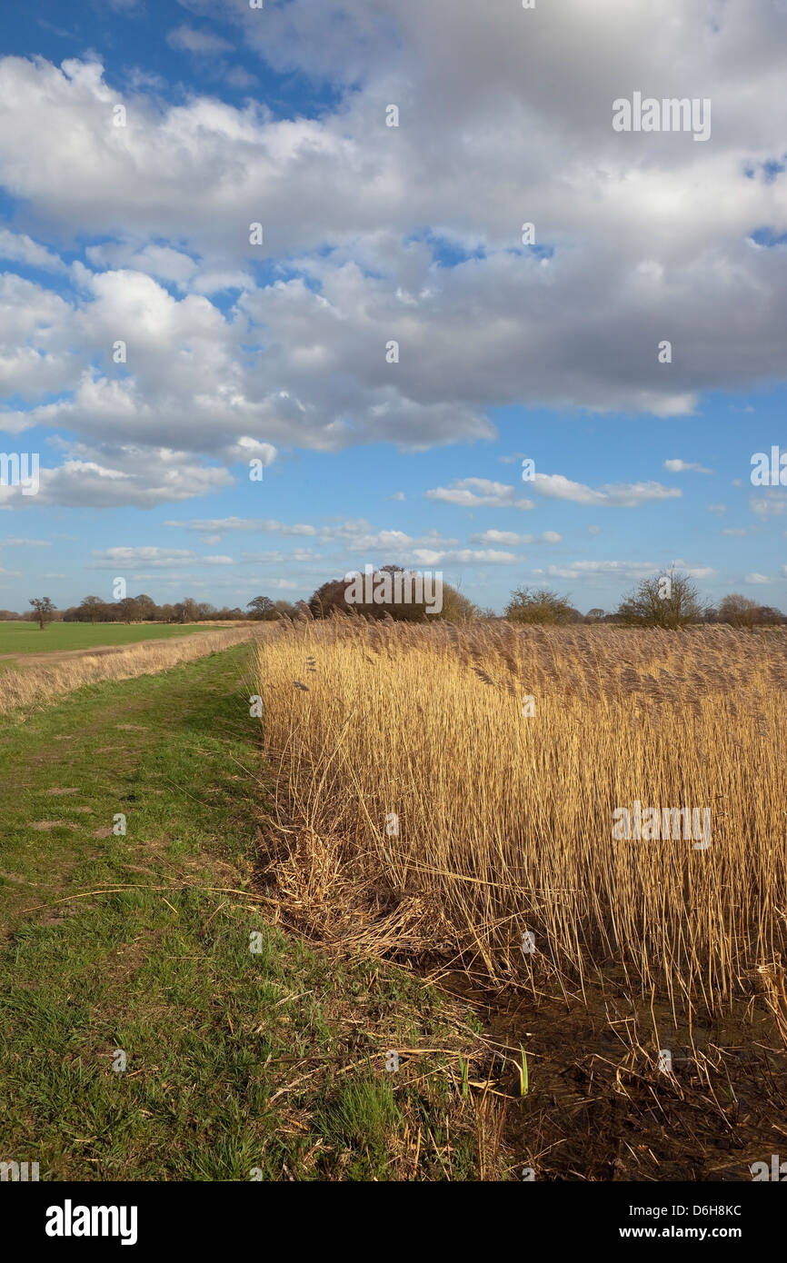 Canal and towpath with a golden reed bed in springtime under a blue cloudy sky - Stock Image