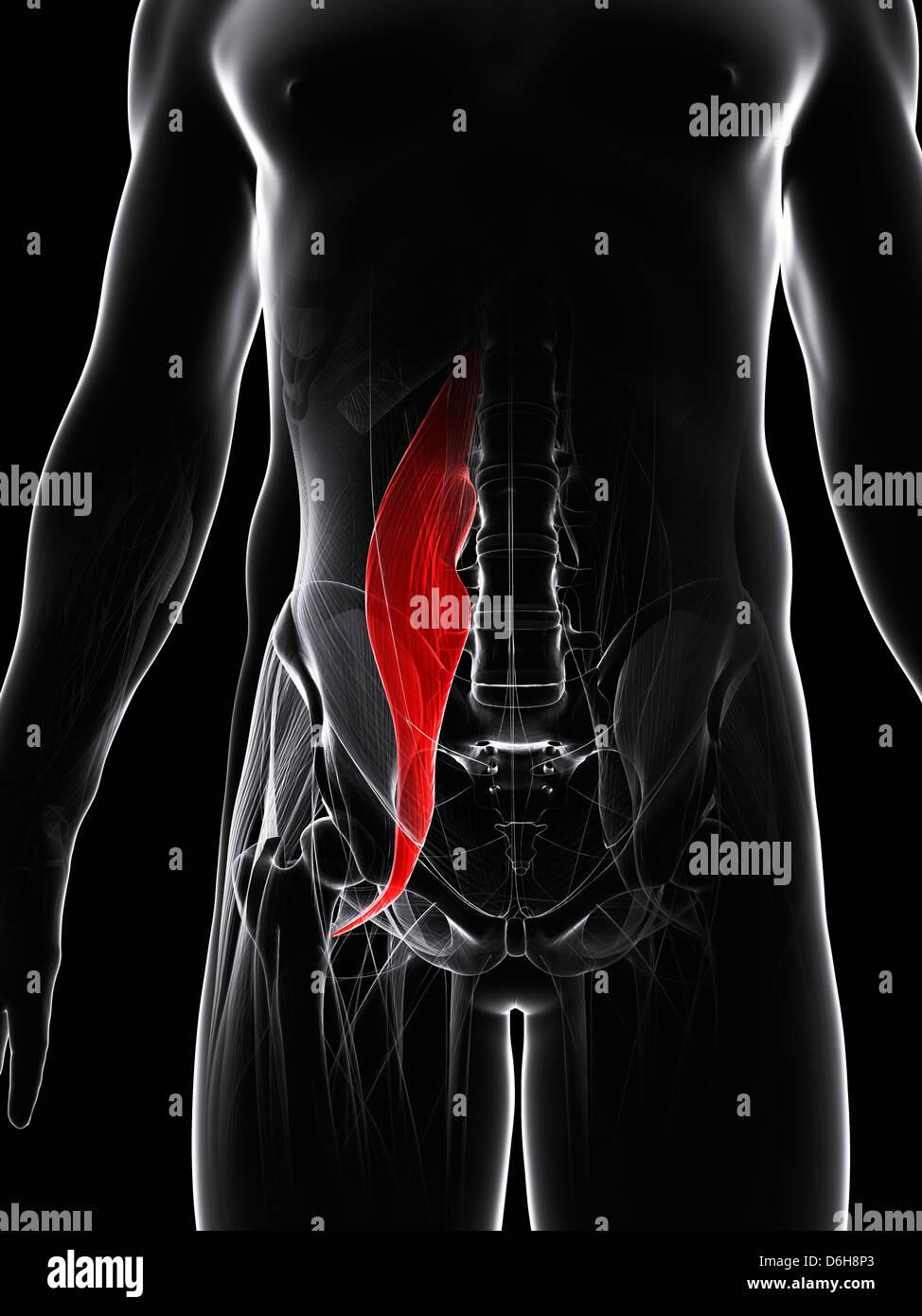 Psoas Muscle Stock Photos Psoas Muscle Stock Images Alamy