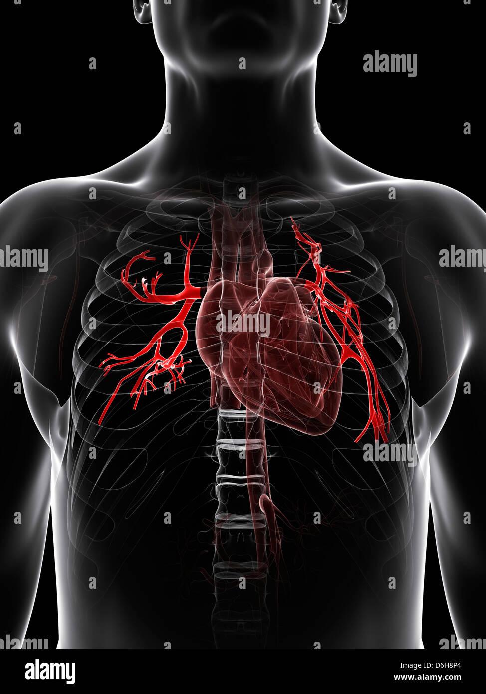 Pulmonary Artery Stock Photos & Pulmonary Artery Stock Images - Alamy