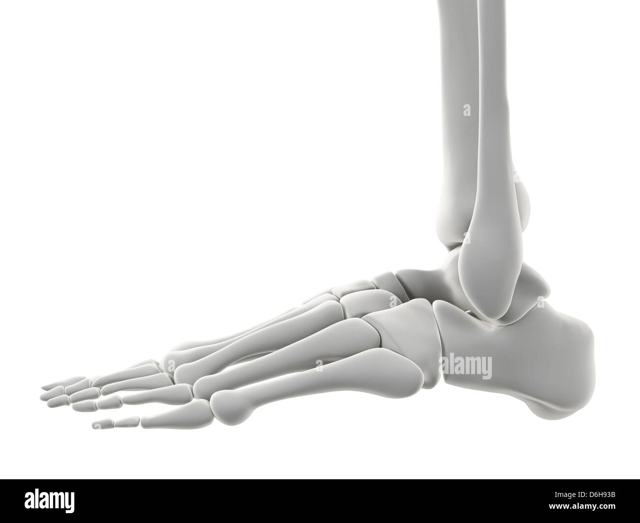 Foot bones, artwork - Stock Image