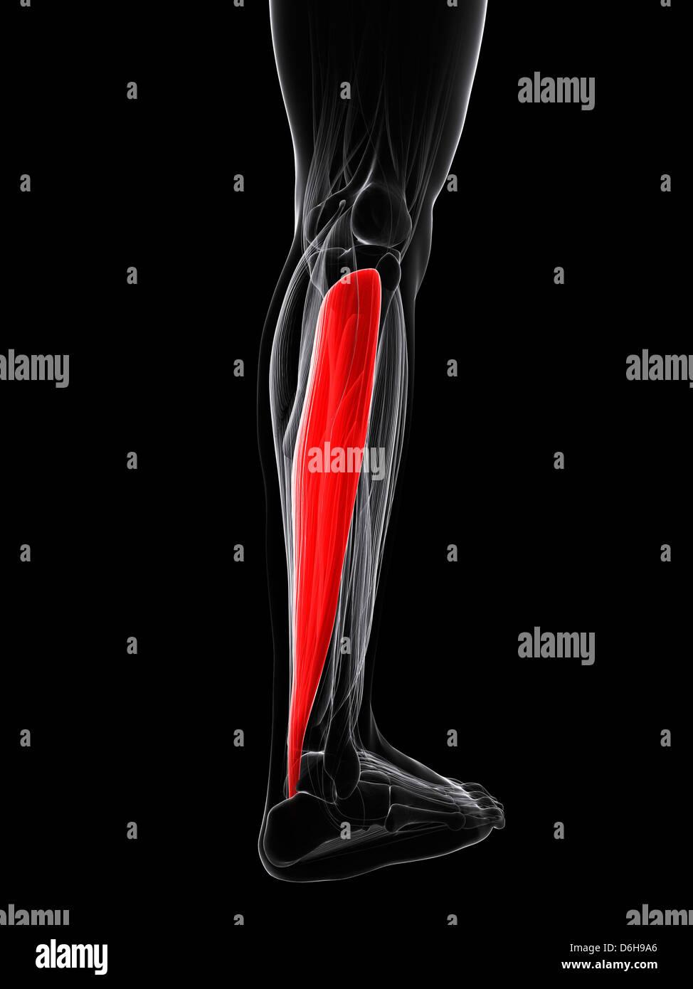 Human Calf Muscle Stock Photos Human Calf Muscle Stock Images Alamy