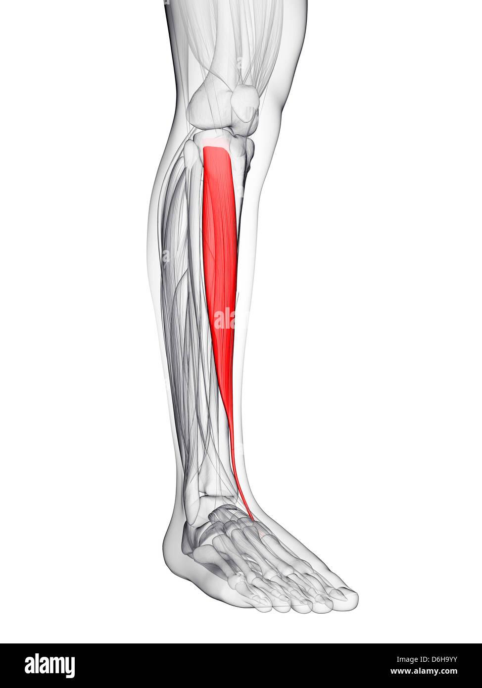 Tibialis Anterior Muscle Stock Photos & Tibialis Anterior Muscle ...