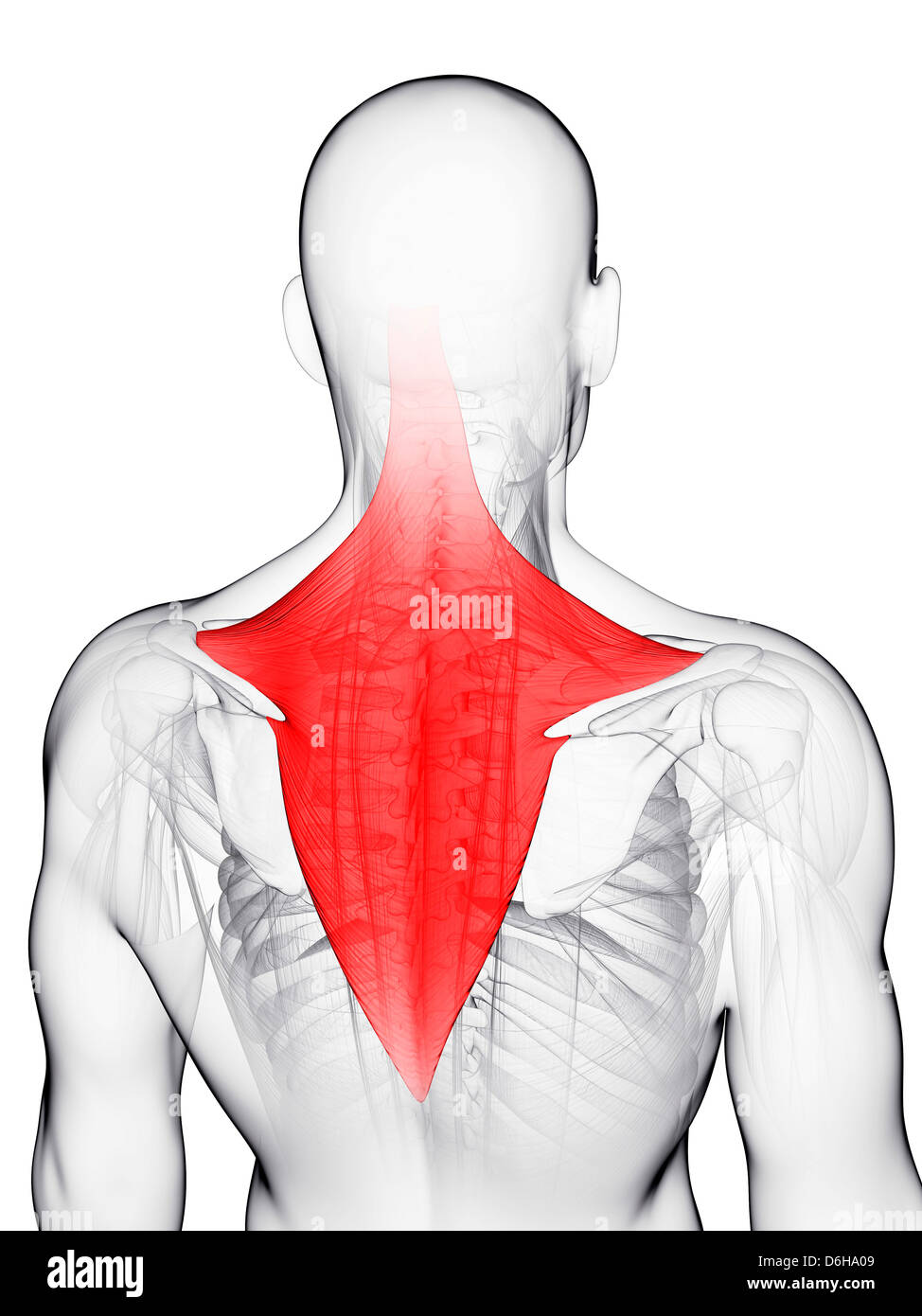Illustration Trapezius Muscle Stock Photos & Illustration Trapezius ...