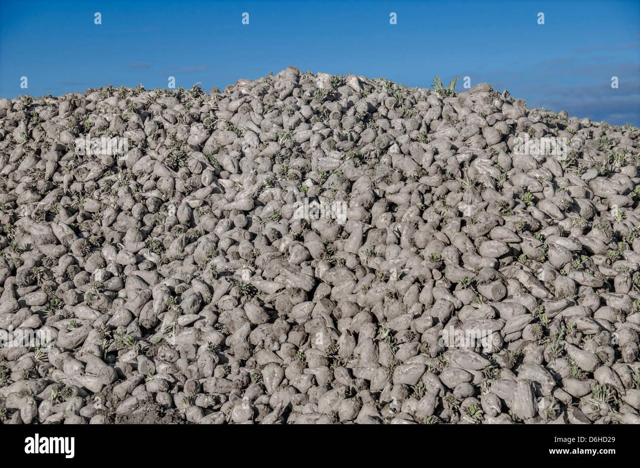 Sugar beet Stock Photo