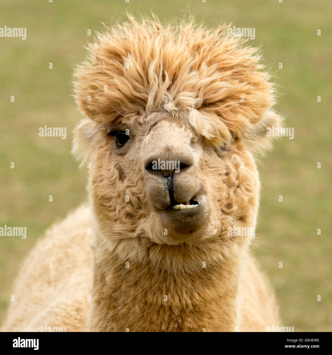 Alpaca with a comical expression, on an Alpaca farm at Husthwaite in North Yorkshire, UK. - Stock Image