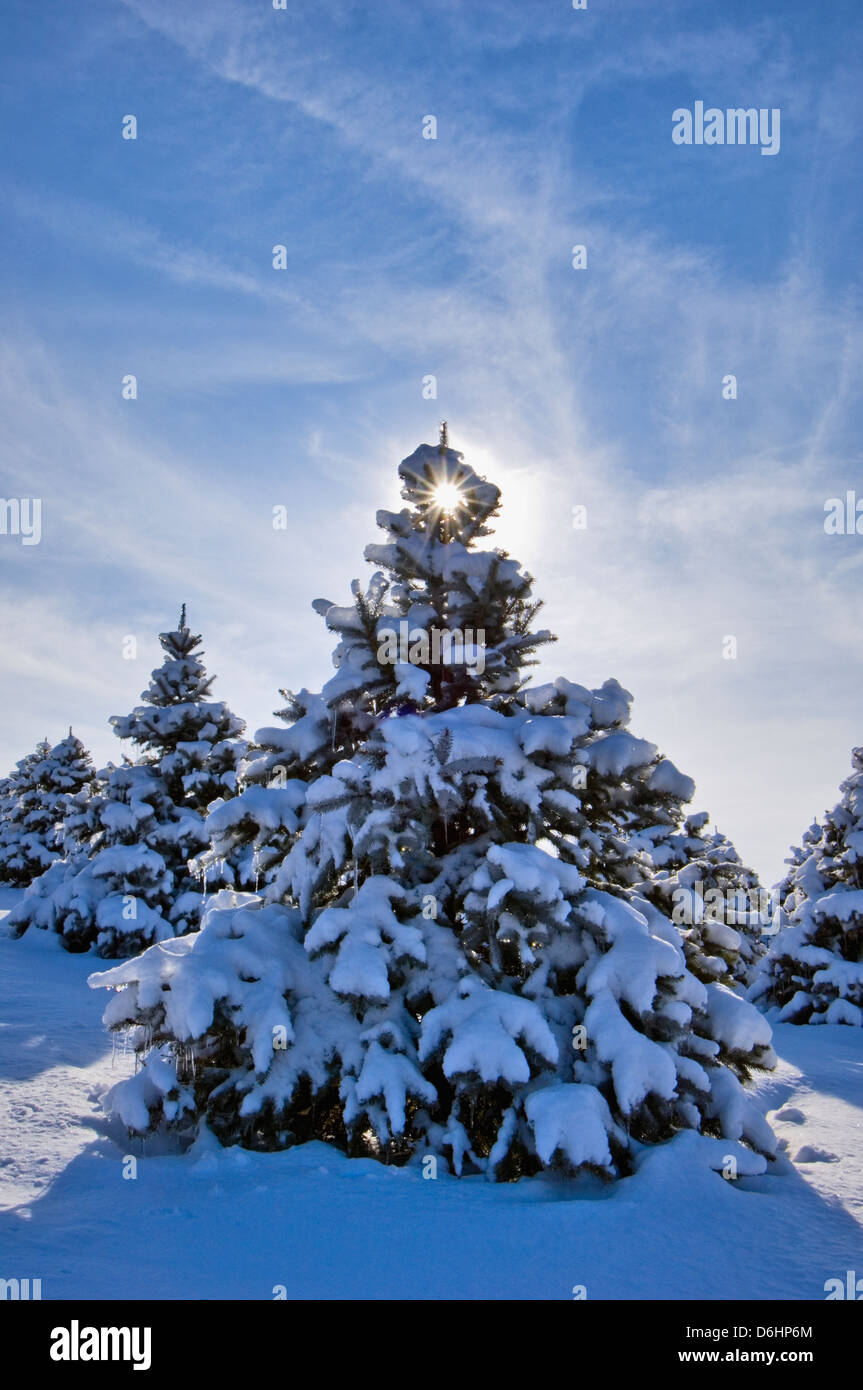 Spruce Tree Covered in New Snow in Starlight, Indiana - Stock Image