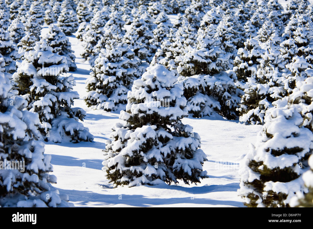 Spruce Trees Covered in New Snow in Clark County, Indiana Stock Photo