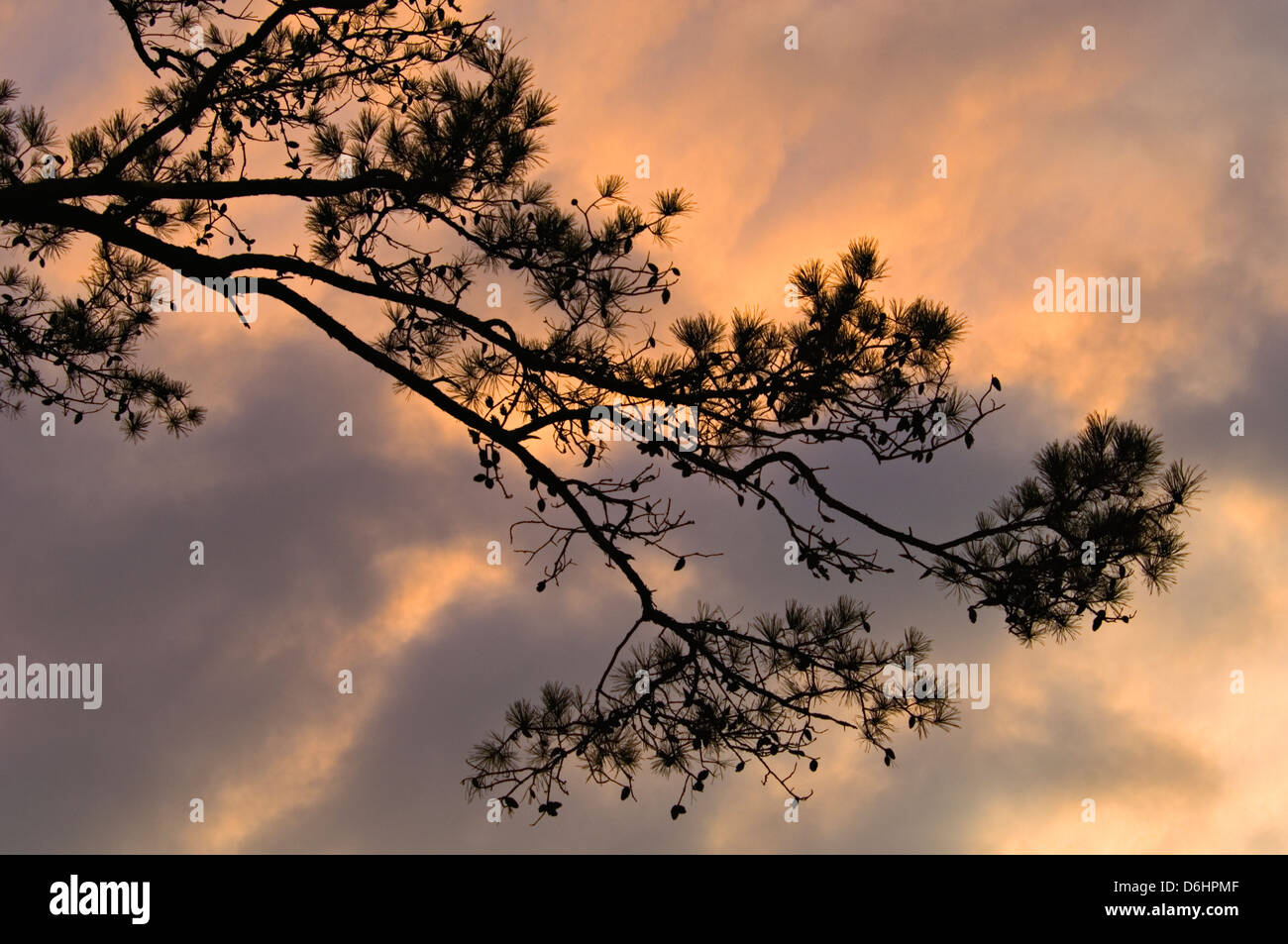 Pine Tree Branch Silhouetted Against Sunset at Cumberland Falls State Park in Kentucky - Stock Image