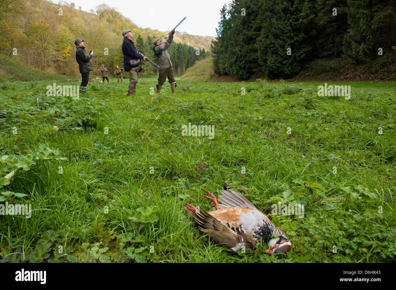 Harvested Hungarian Partridge and Gunners during a Driven Shoot in Yorkshire England - Stock Image