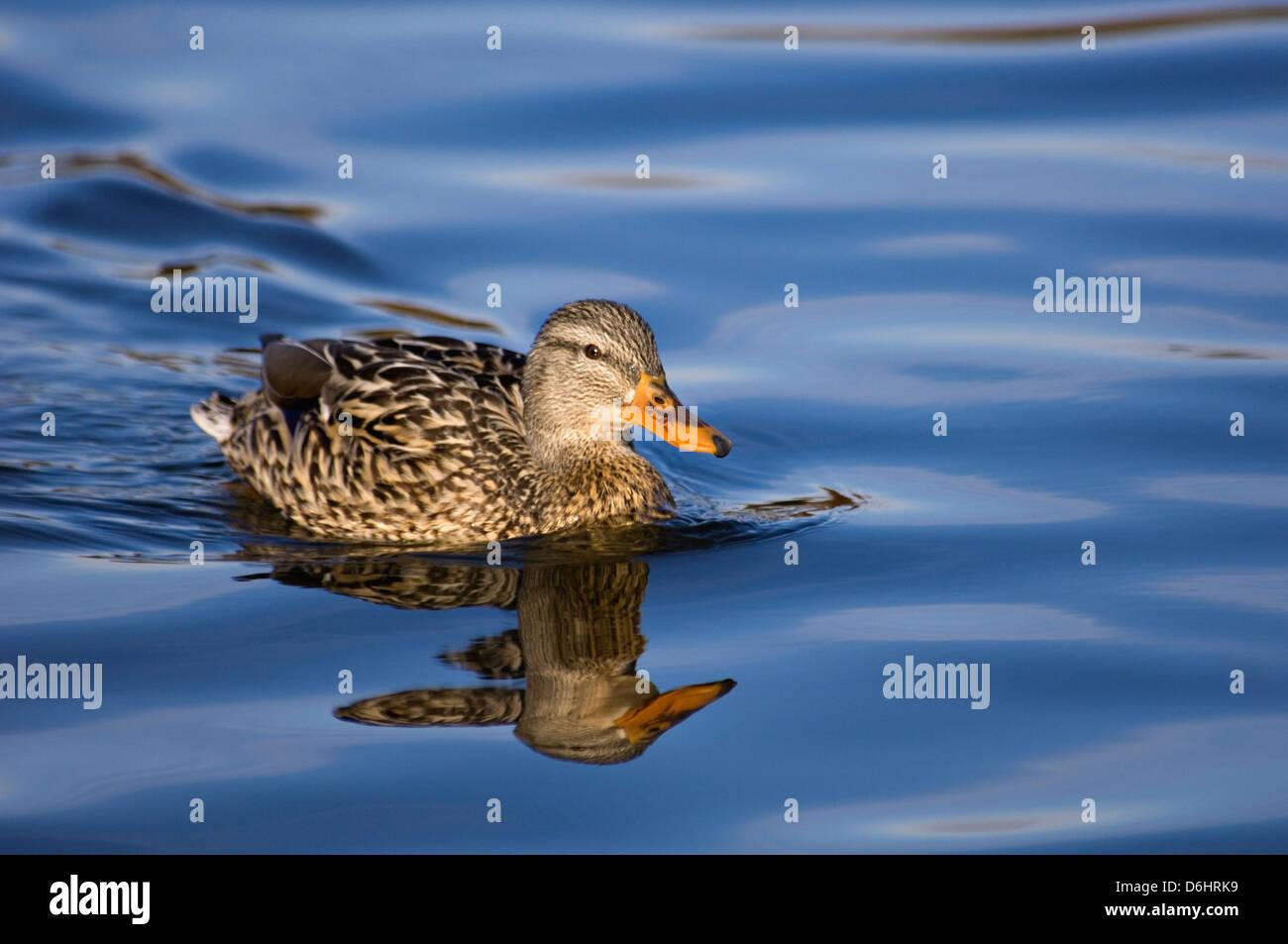 Mallard Duck Female Swimming with Reflection - Stock Image