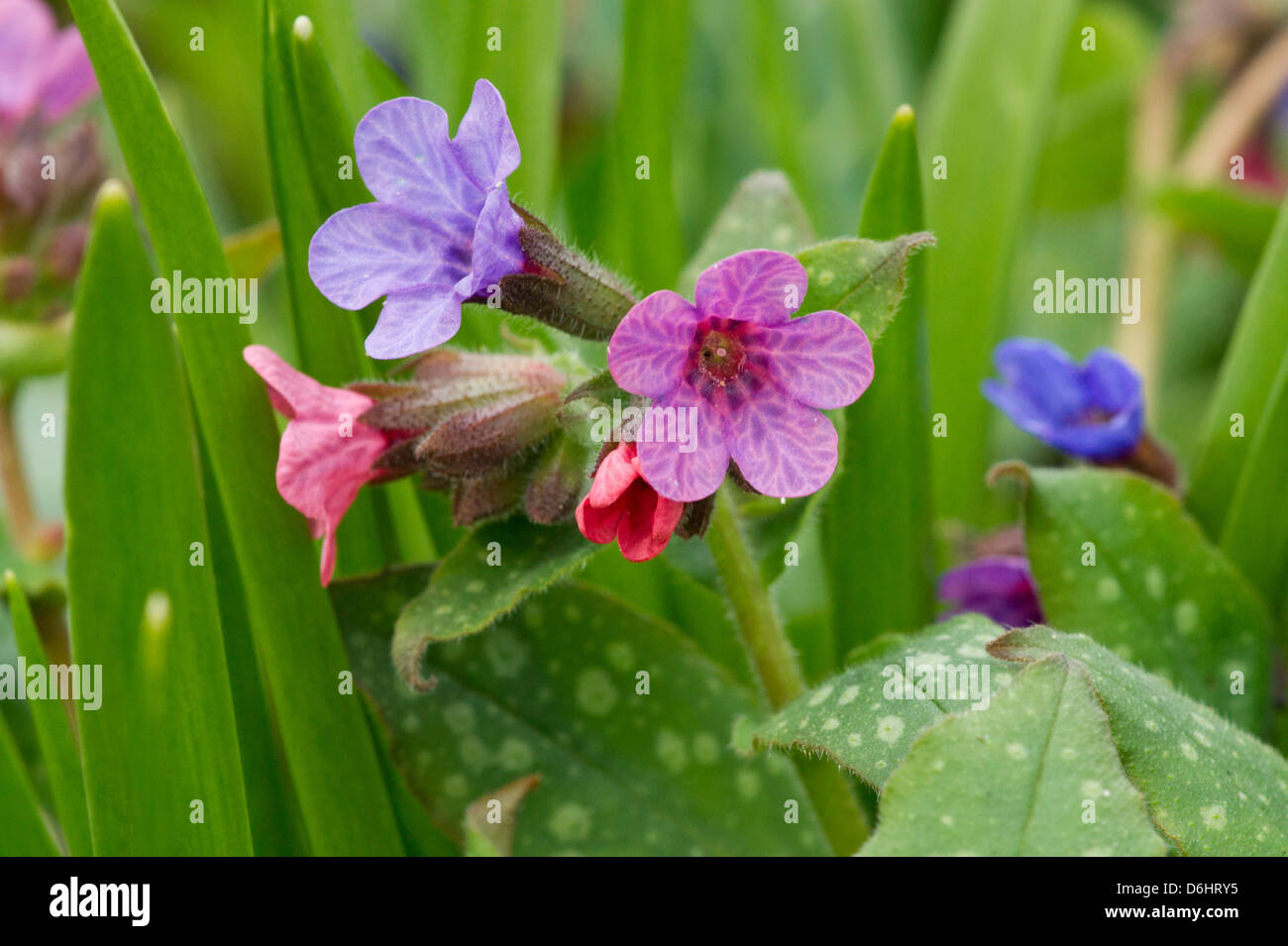 Lungworth Flowers In Spring Stock Photo 55711017 Alamy