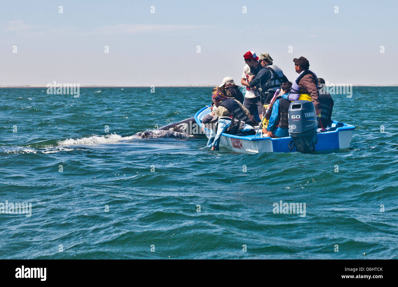 A mother Gray / Gray Whale and her calf approach a skiff filled with Whale-watching ecotourists. Laguna San Ignacio, - Stock Image