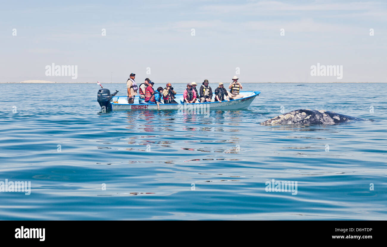 Whale-watching ecotourists in a skiff  having a close encounter with a female Gray / Gray Whale Laguna San Ignacio, - Stock Image