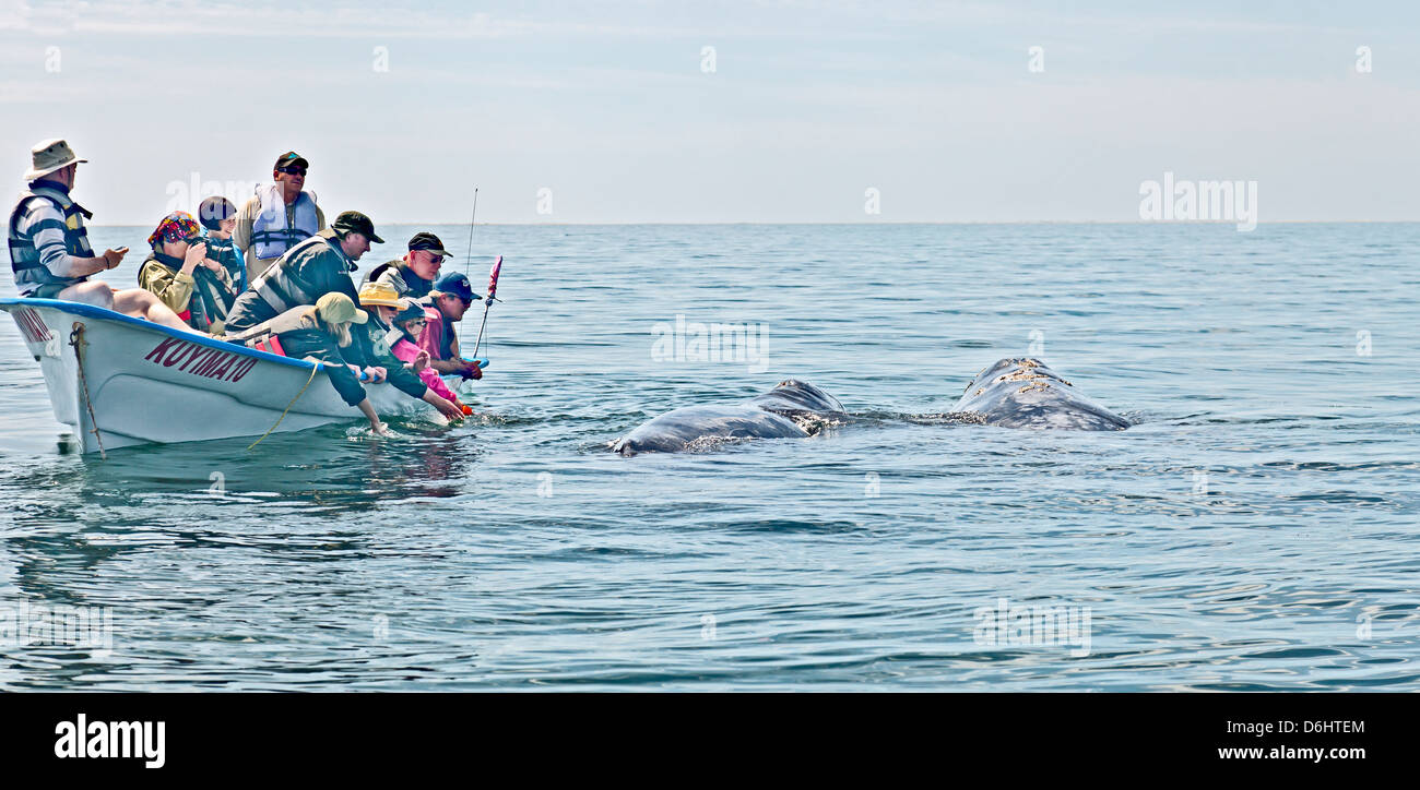 Whale-watching ecotourists having a close encounter with a mother Gray / Gray Whale and her calf. Laguna San Ignacio, - Stock Image