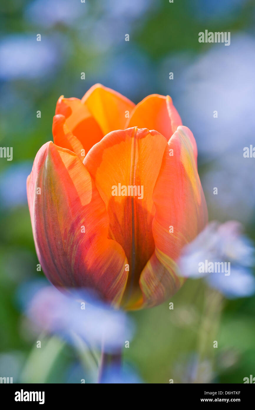 Tulipa Princess Irene with Forget-me-not Stock Photo