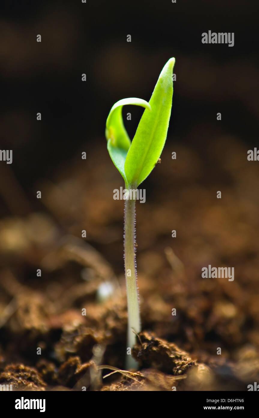 Pepper Plant Seedling - Stock Image