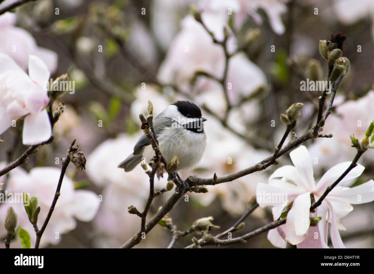 Carolina Chickadee Perched in Blooming Star Magnolia Shrub in Indiana - Stock Image