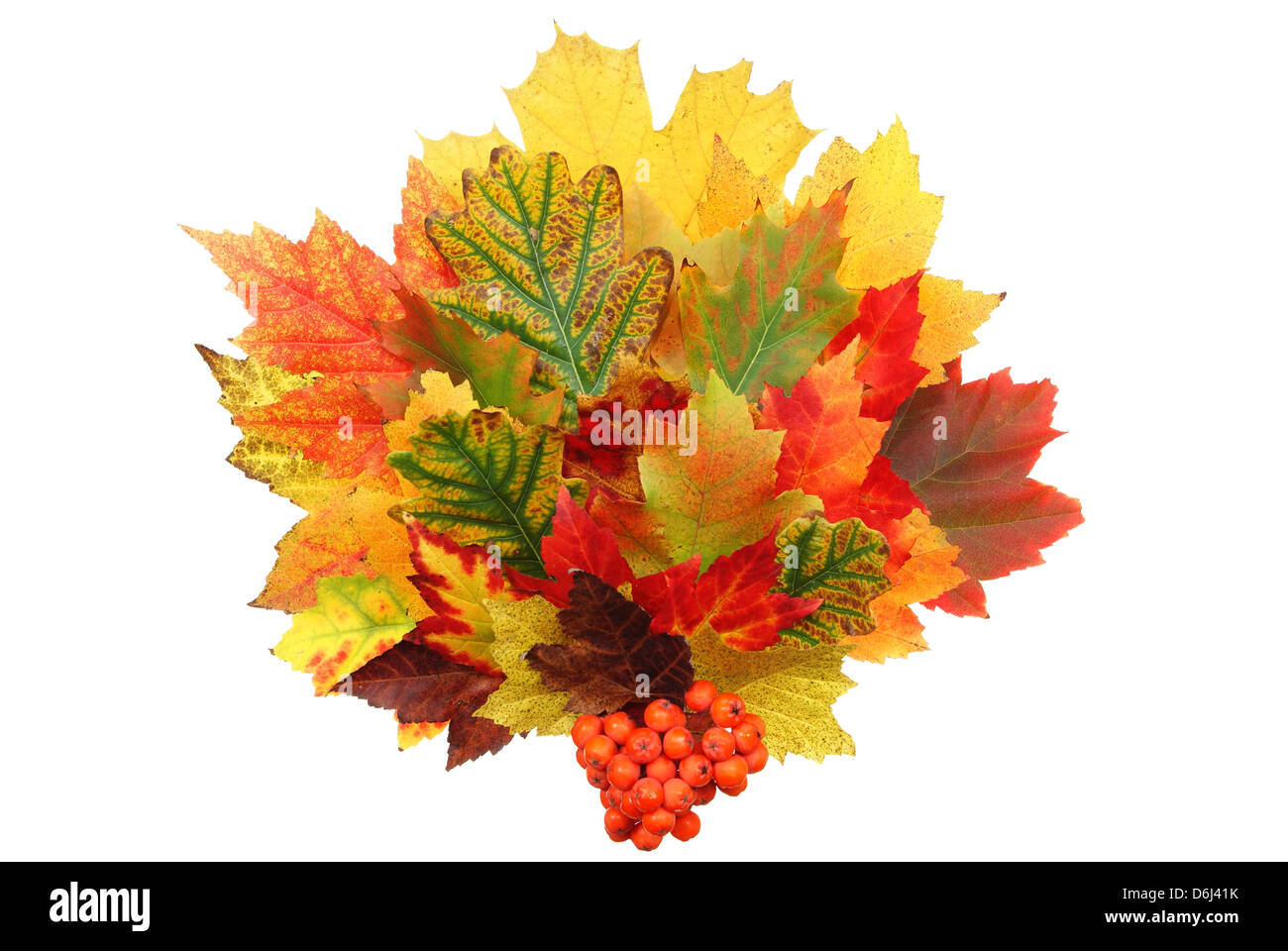 coloured leaf of autumn and rowan-berry - Stock Image