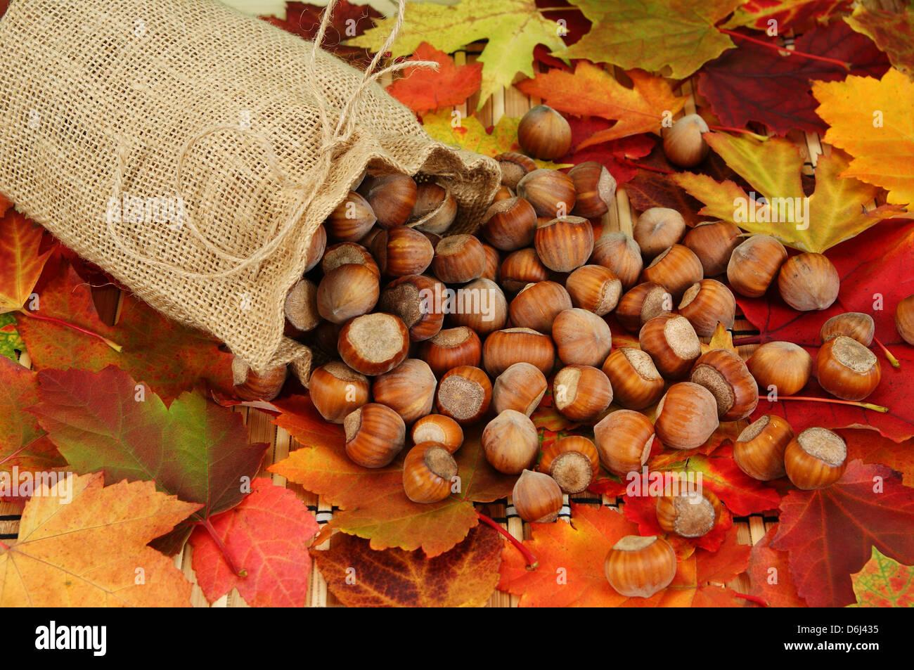 hazelnuts spilled with sack on background leaf - Stock Image