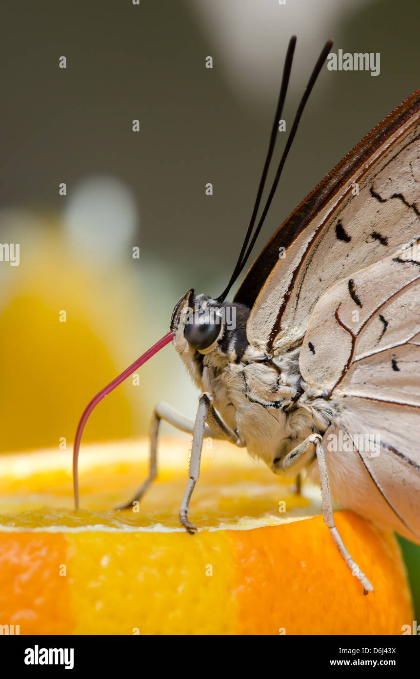 Great eggfly bolina butterfly eating an orange. Close-up of the proboscis. - Stock Image