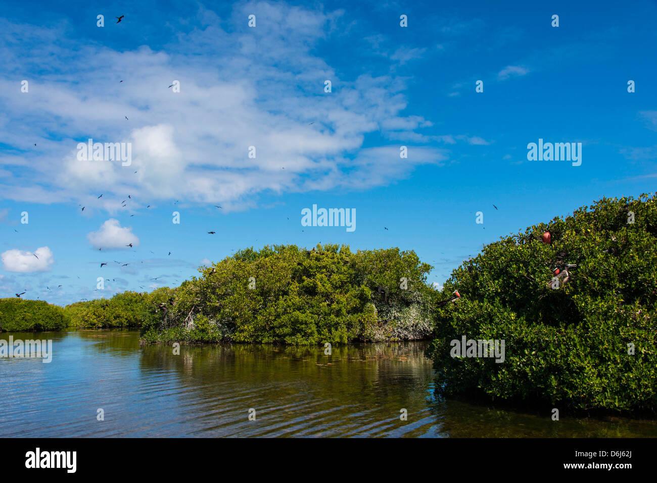 Frigate bird colony in the Codrington lagoon, Barbuda, Antigua and Barbuda, West Indies, Caribbean, Central America - Stock Image