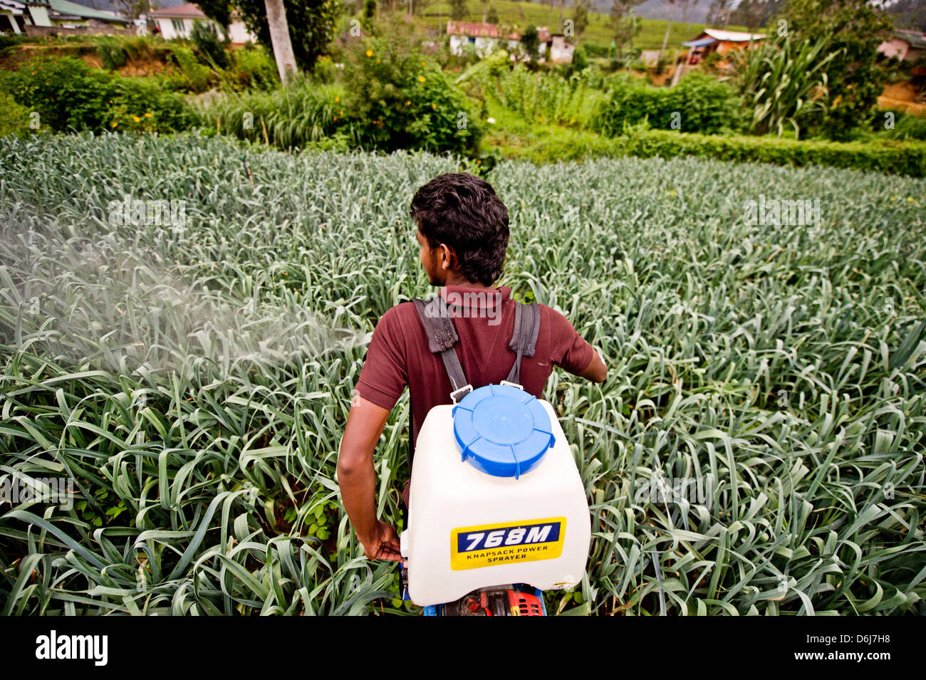 A farmer and student of the ISFF uses pesticide to grow leeks in Halgranoya, Sri Lanka, Asia - Stock Image