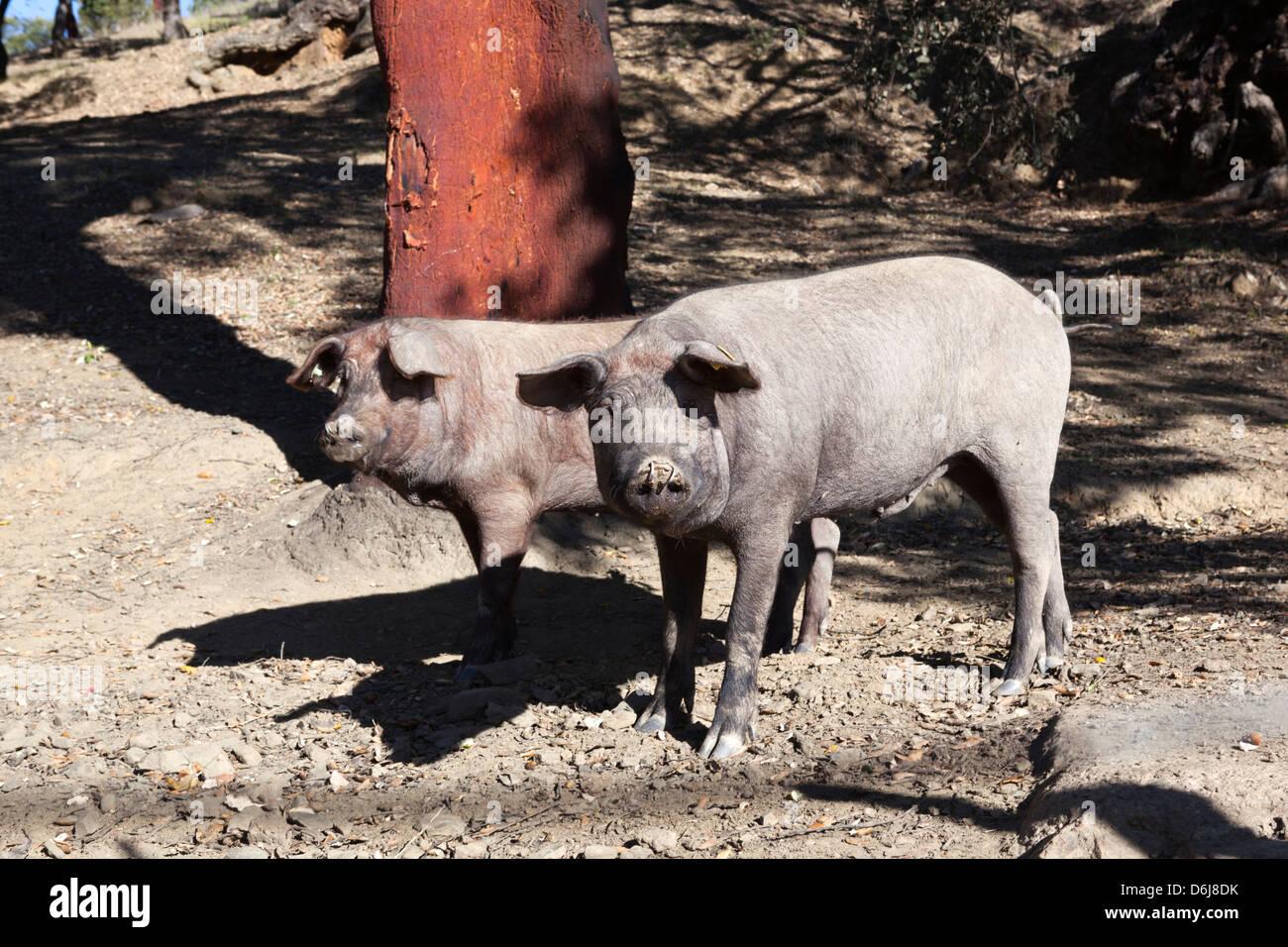 Iberian black pigs, Aracena, Sierra Morena, Huelva, Andalucia, Spain, Europe - Stock Image
