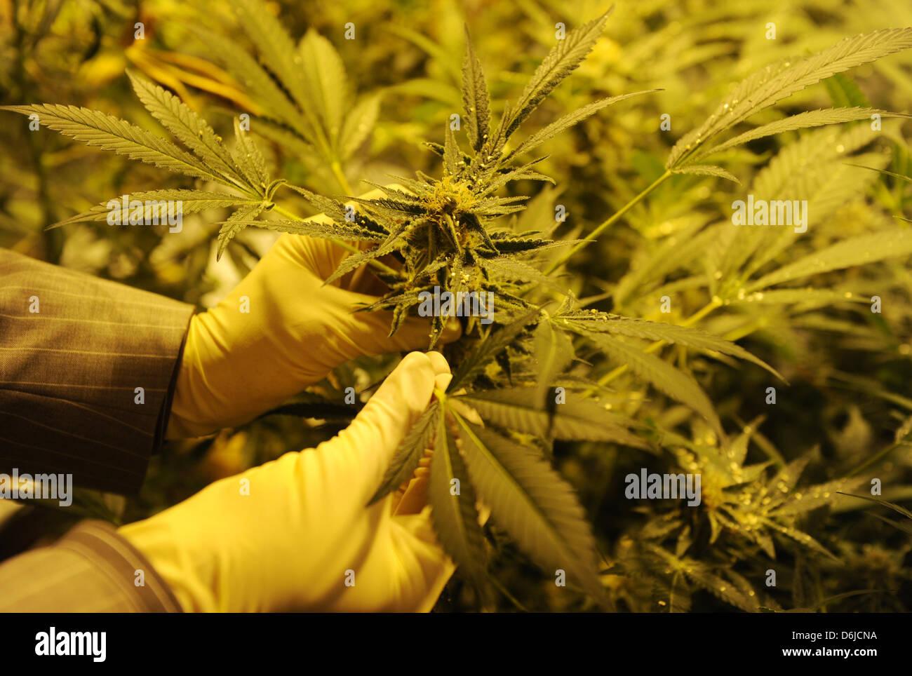 Oliver Appel, biologist for the criminal technical investigations department (KTU), examines marijuana plants for Stock Photo