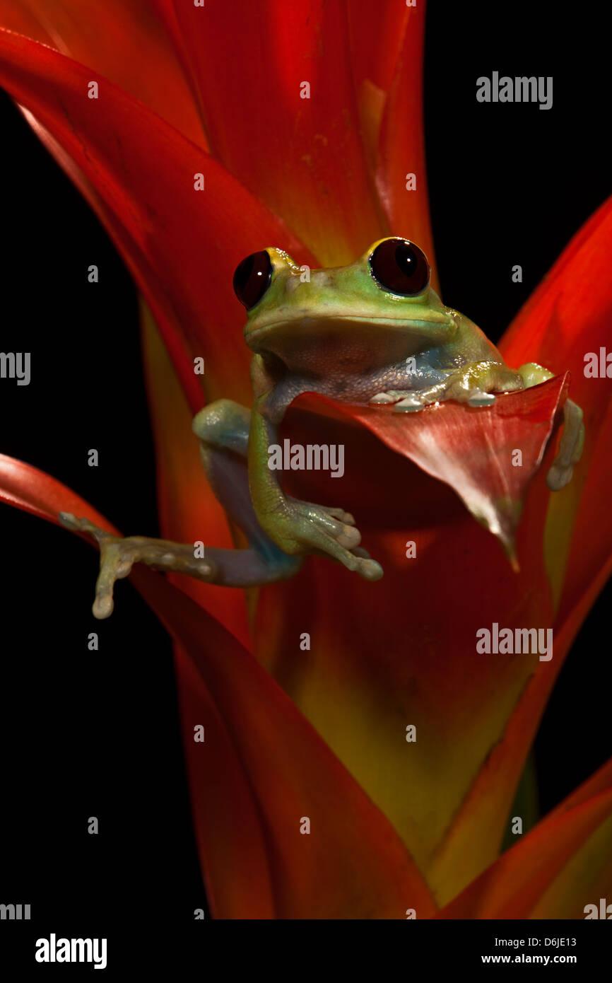 Maroon Big Eye Tree Frog Leptopelis sp. - Stock Image