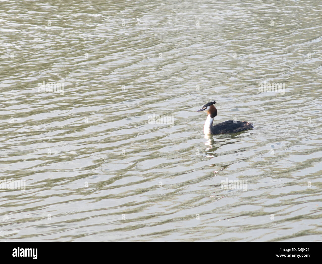 Great Crested Grebe on The River Thames, Reading, Berkshire. Stock Photo