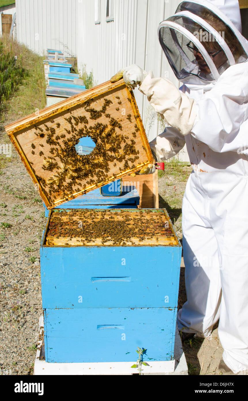 Bee keeping at Arlo's Honey Farm, Kelowna, British Columbia, Canada, North America Stock Photo