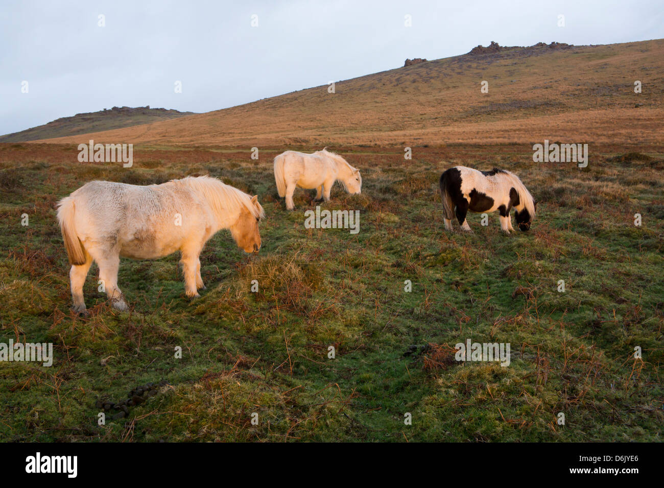Ponies grazing, tor in background, Dartmoor National Park, Devon, England, United Kingdom - Stock Image