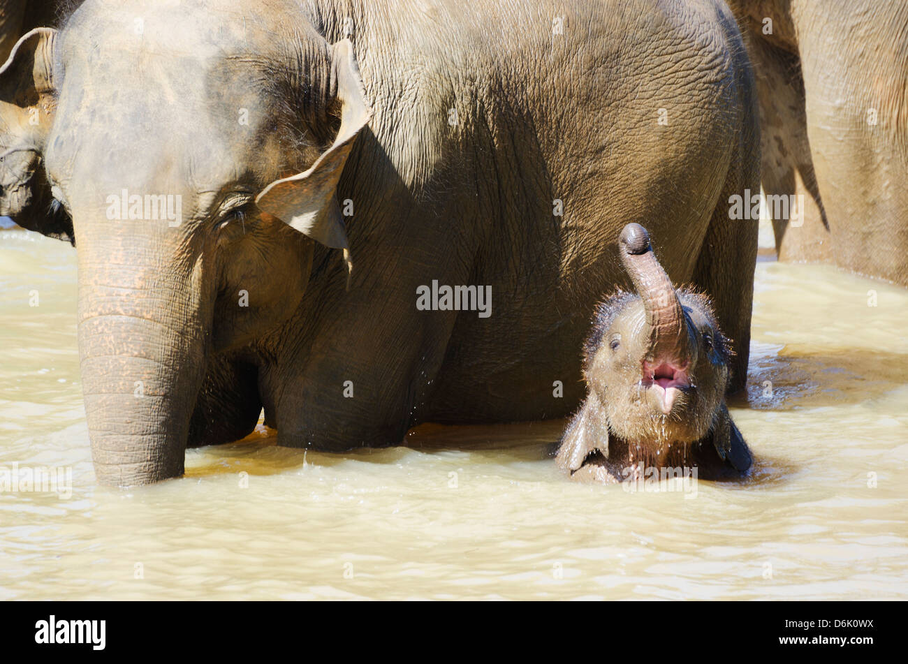 Pinnewala Elephant Orphanage near Kegalle, Hill Country, Sri Lanka, Asia - Stock Image