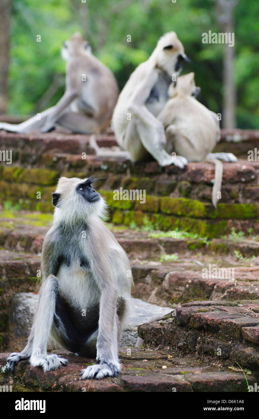 Tufted grey langurs (Semnopithecus priam), Polonnaruwa, North Central Province, Sri Lanka, Asia Stock Photo