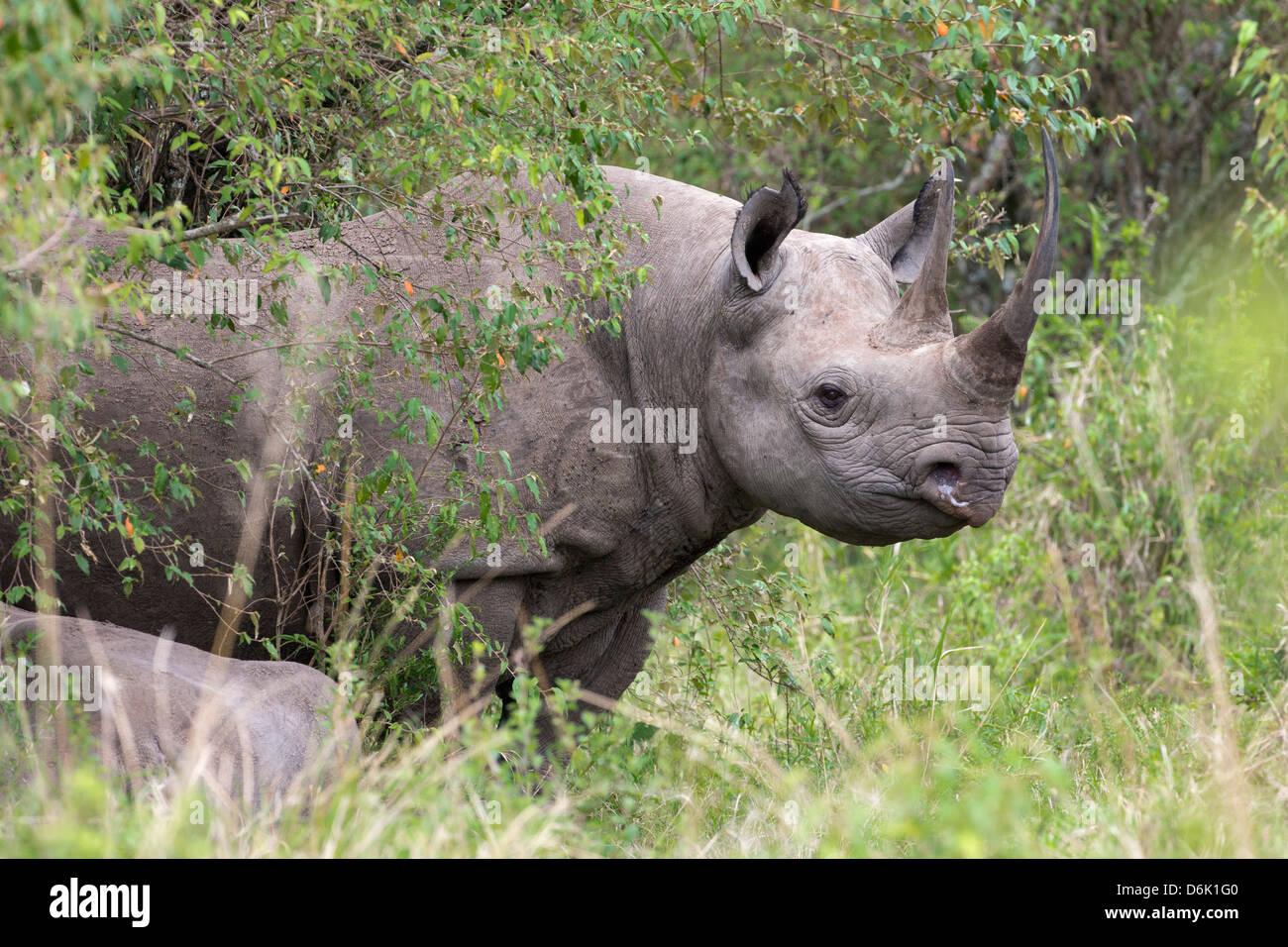 Black rhino (Diceros bicornis), Masai Mara, Kenya, East Africa, Africa - Stock Image