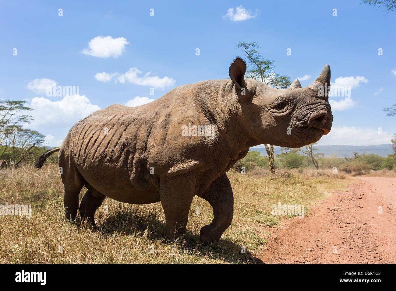 Rhino, Lewa Wildlife Conservancy, Laikipia, Kenya, East Africa, Africa - Stock Image