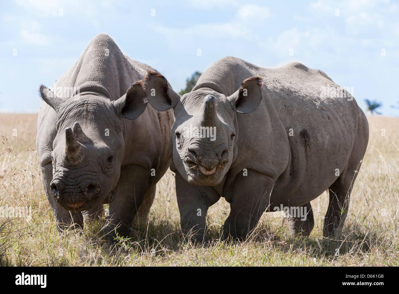 Two rhinoceros, Ol Pejeta Conservancy, Laikipia, Kenya, East Africa, Africa - Stock Image