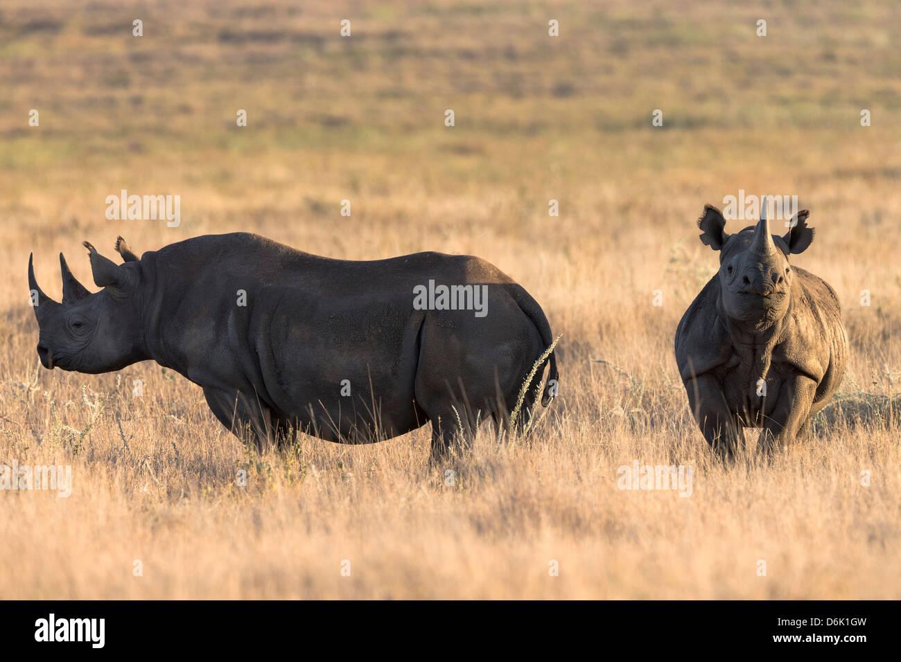 Black rhinos (Diceros bicornis), Lewa Wildlife Conservancy, Laikipia, Kenya, East Africa, Africa - Stock Image