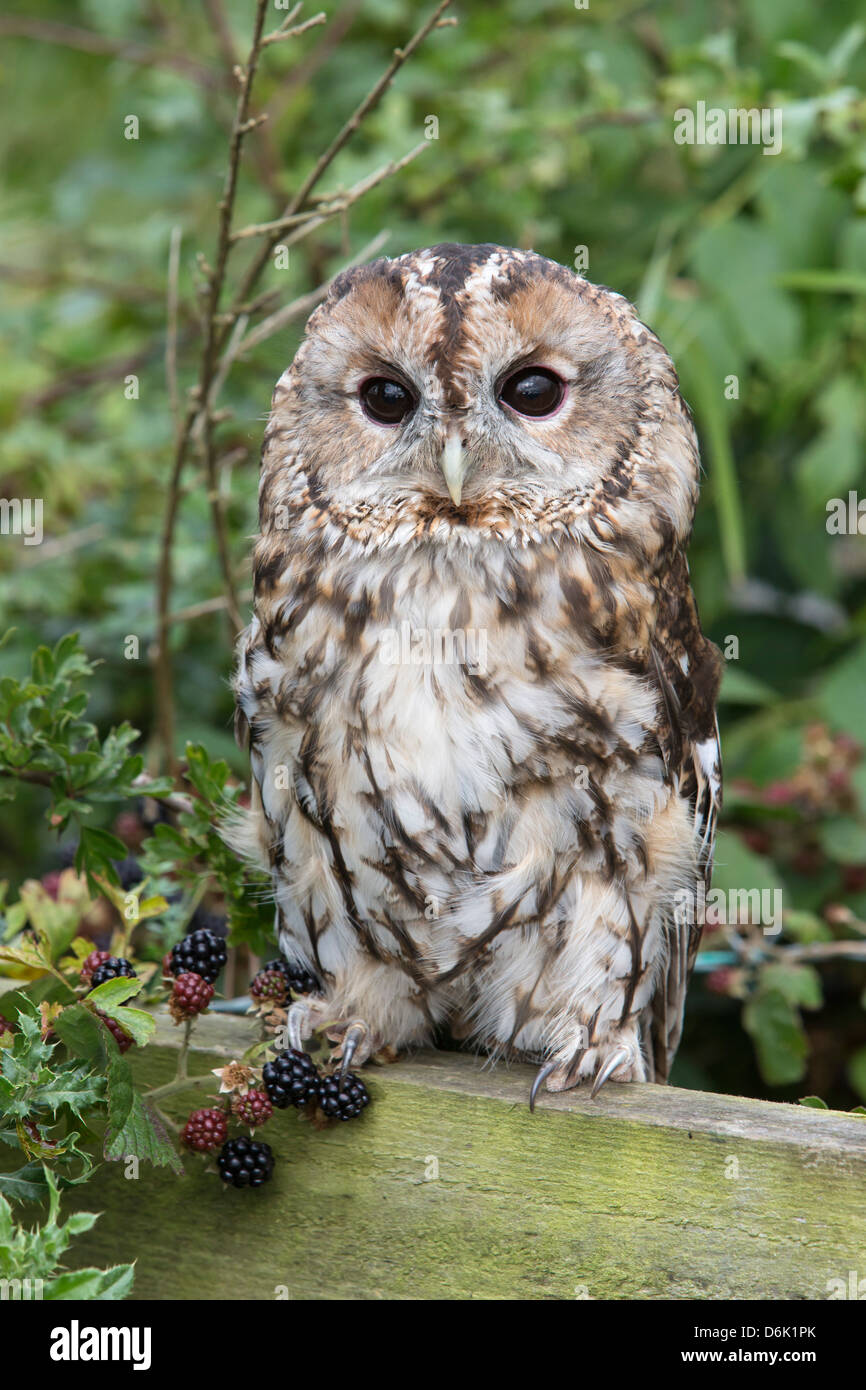 Tawny owl (Strix aluco), captive, United Kingdom, Europe - Stock Image
